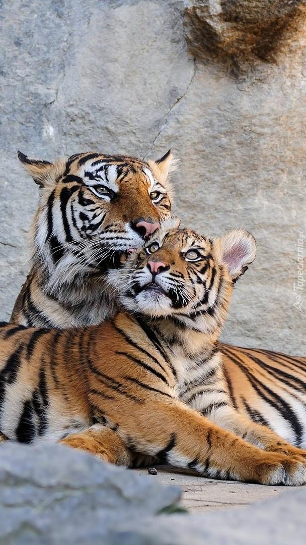 Dwa leżące tygrysy na skale