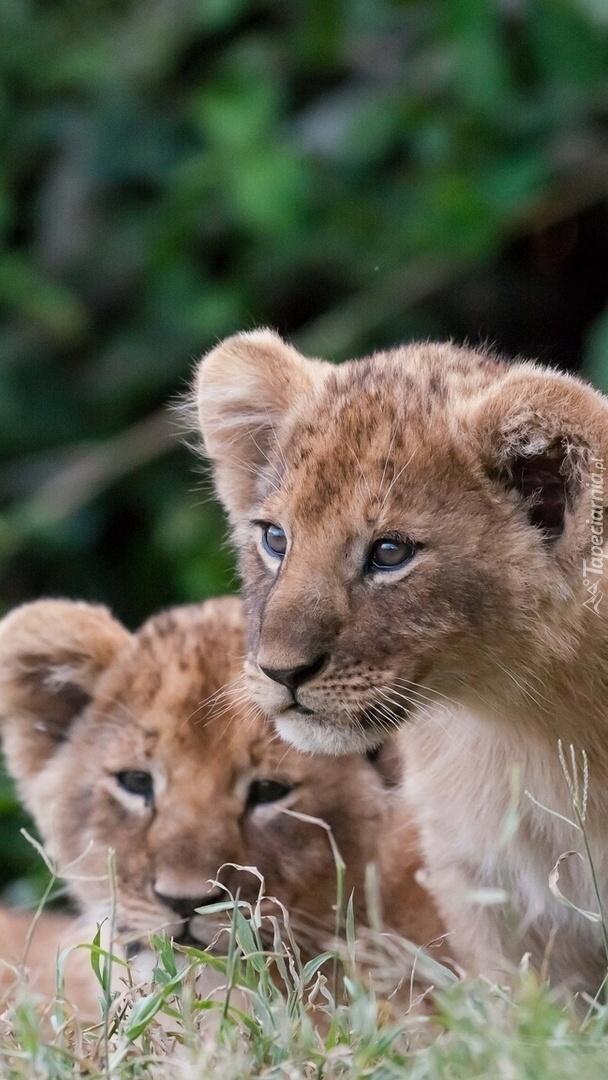 Dwa lwiątka na trawie