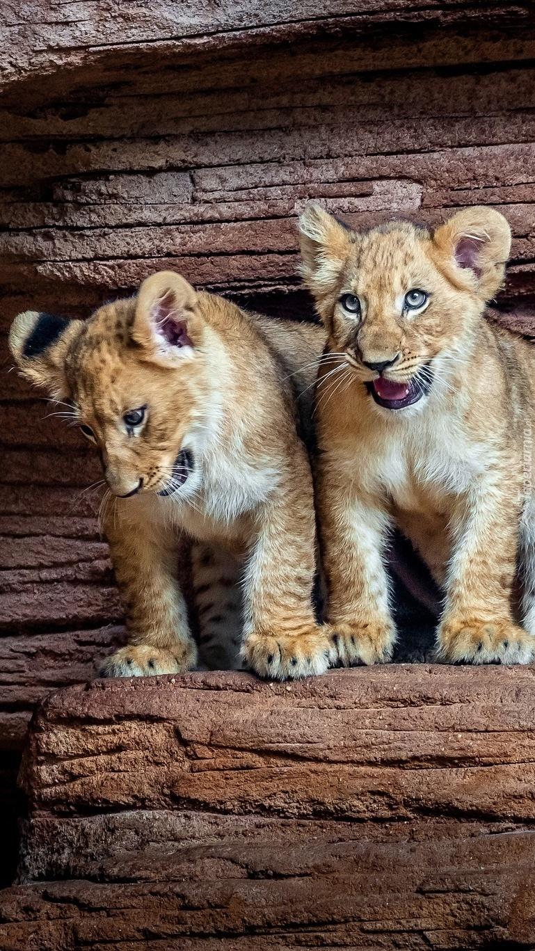 Dwa lwiątka