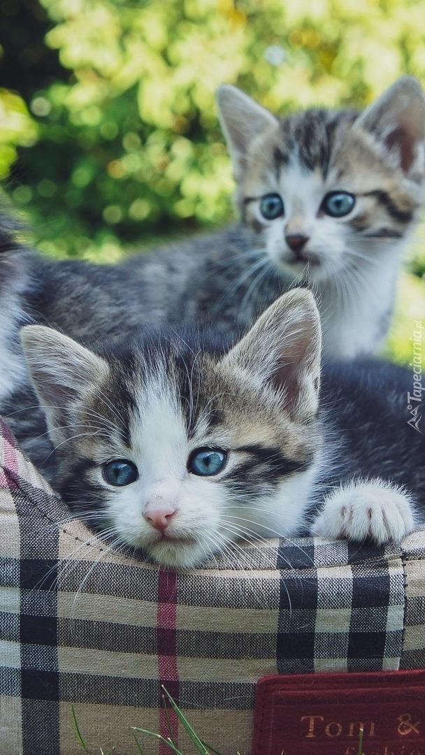 Dwa małe kotki w legowisku