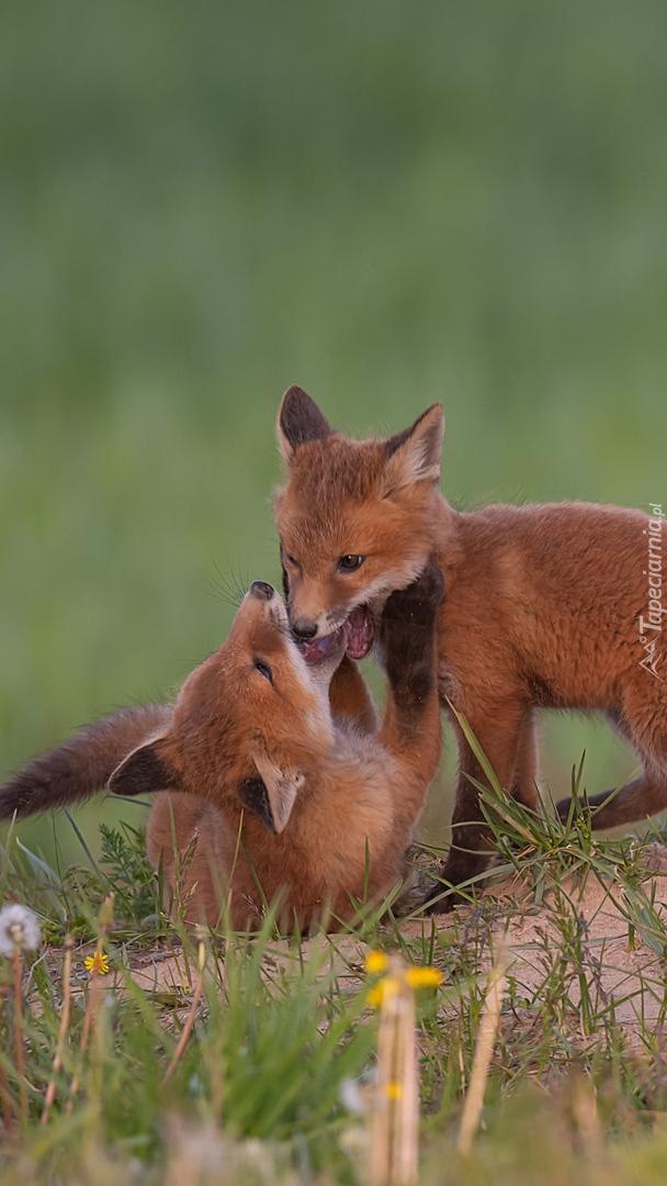 Dwa małe liski