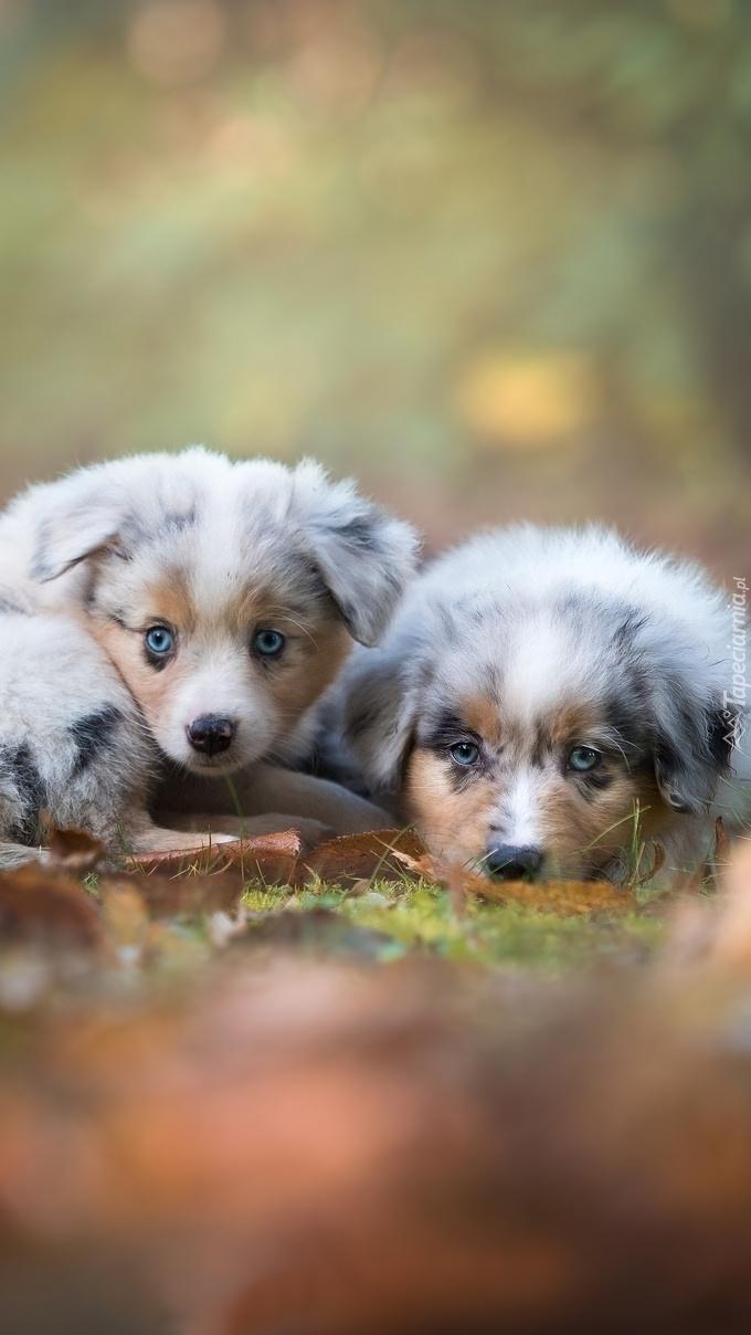 Dwa małe owczarki australijskie