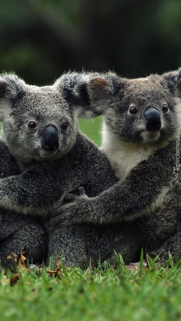 Dwa misie koala