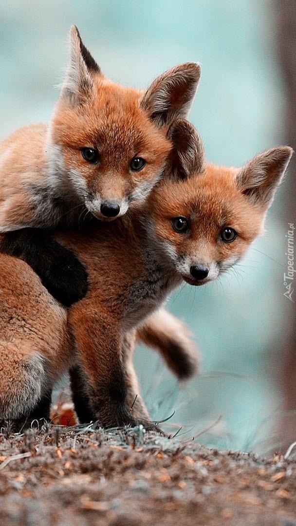 Dwa młode liski