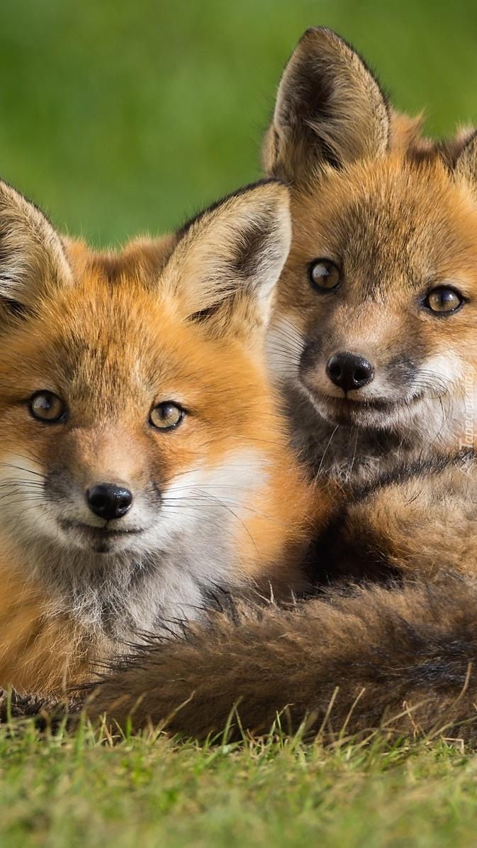 Dwa młode lisy