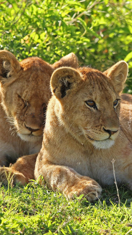 Dwa młode lwy