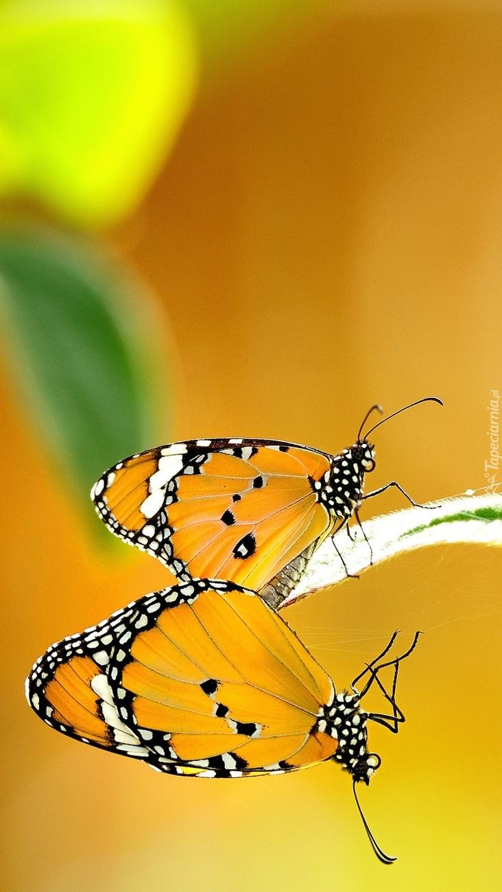 Dwa motyle na roślinie