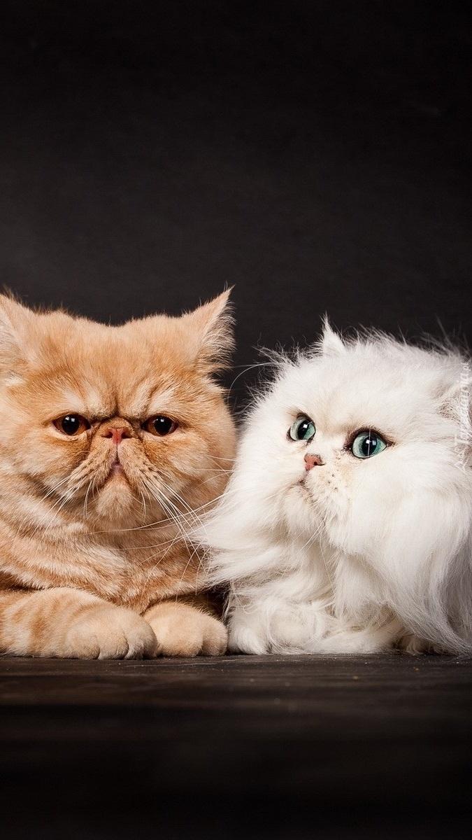 Dwa naburmuszone koty perskie