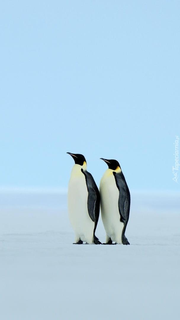 Dwa pingwiny cesarskie