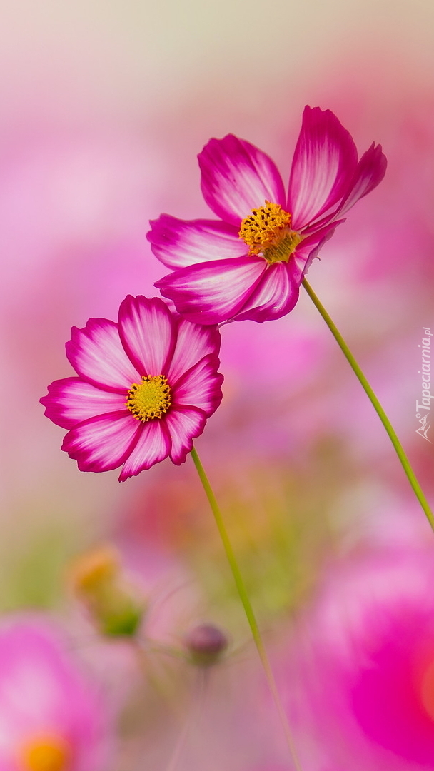 Dwa różowe kwiaty kosmei