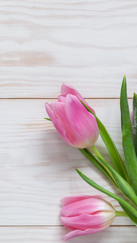 Dwa różowe tulipany