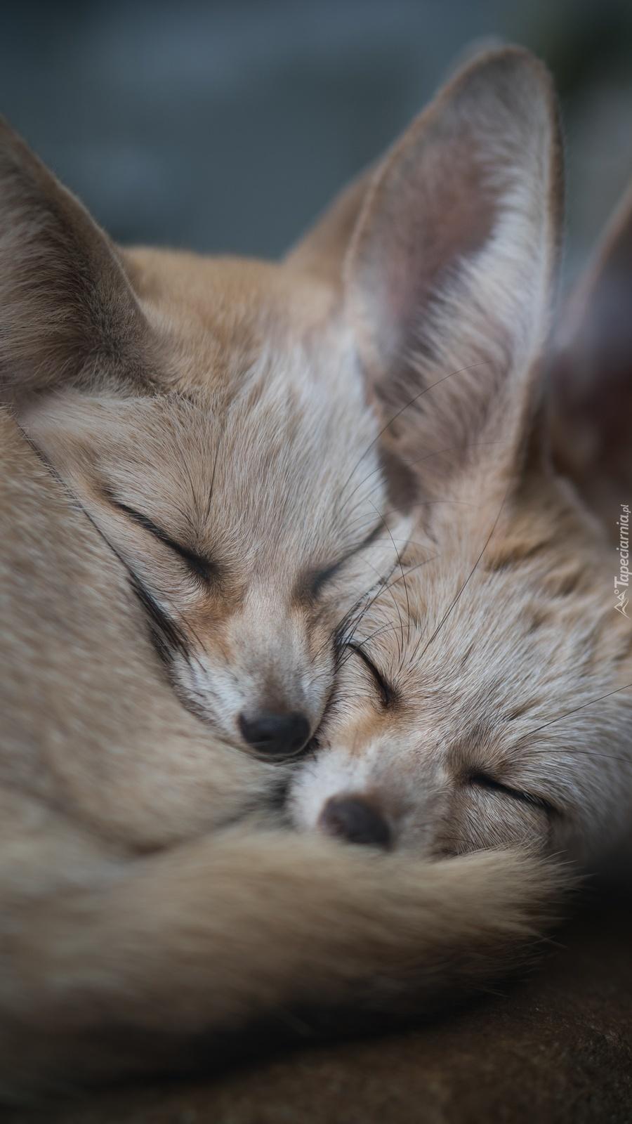 Dwa śpiące fenki