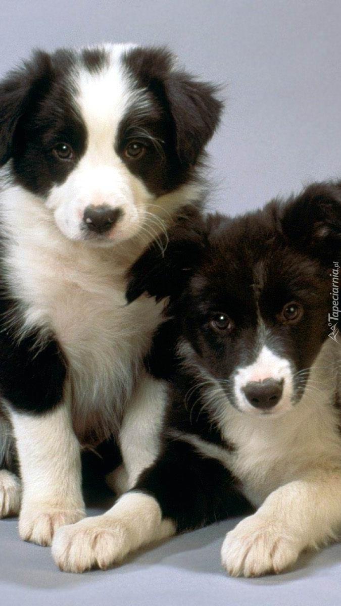 Dwa szczeniaki border collie