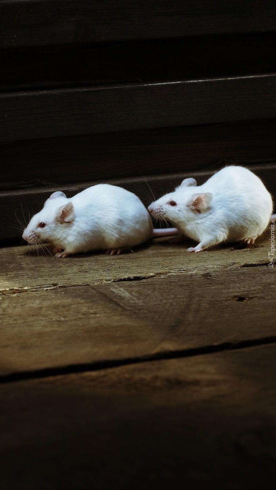 Dwie białe myszki