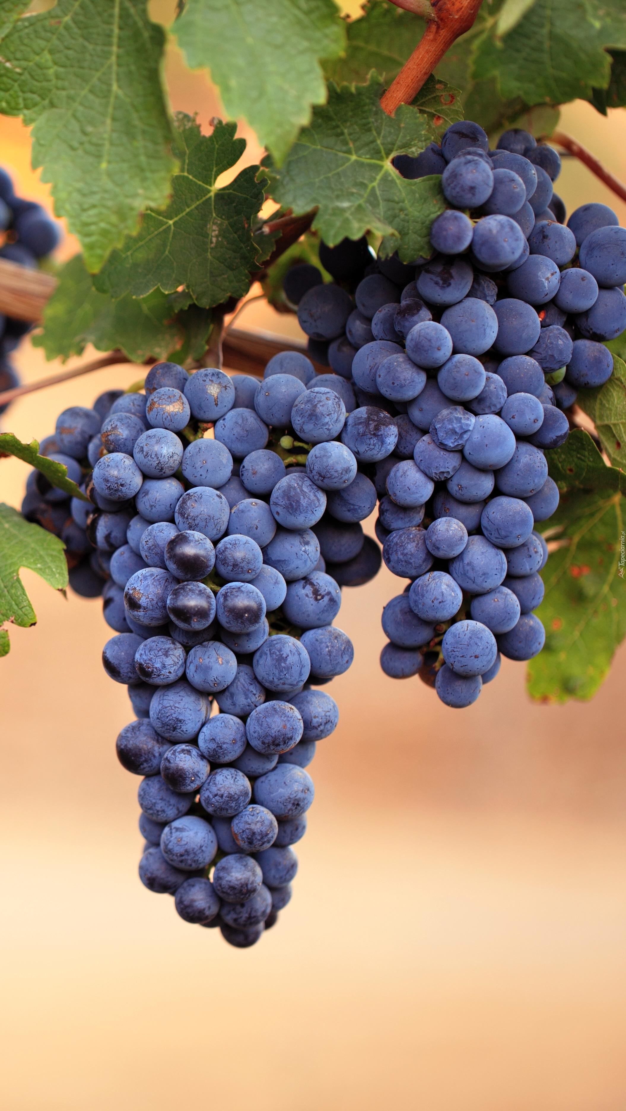 Dwie kiście winogron na gałązce