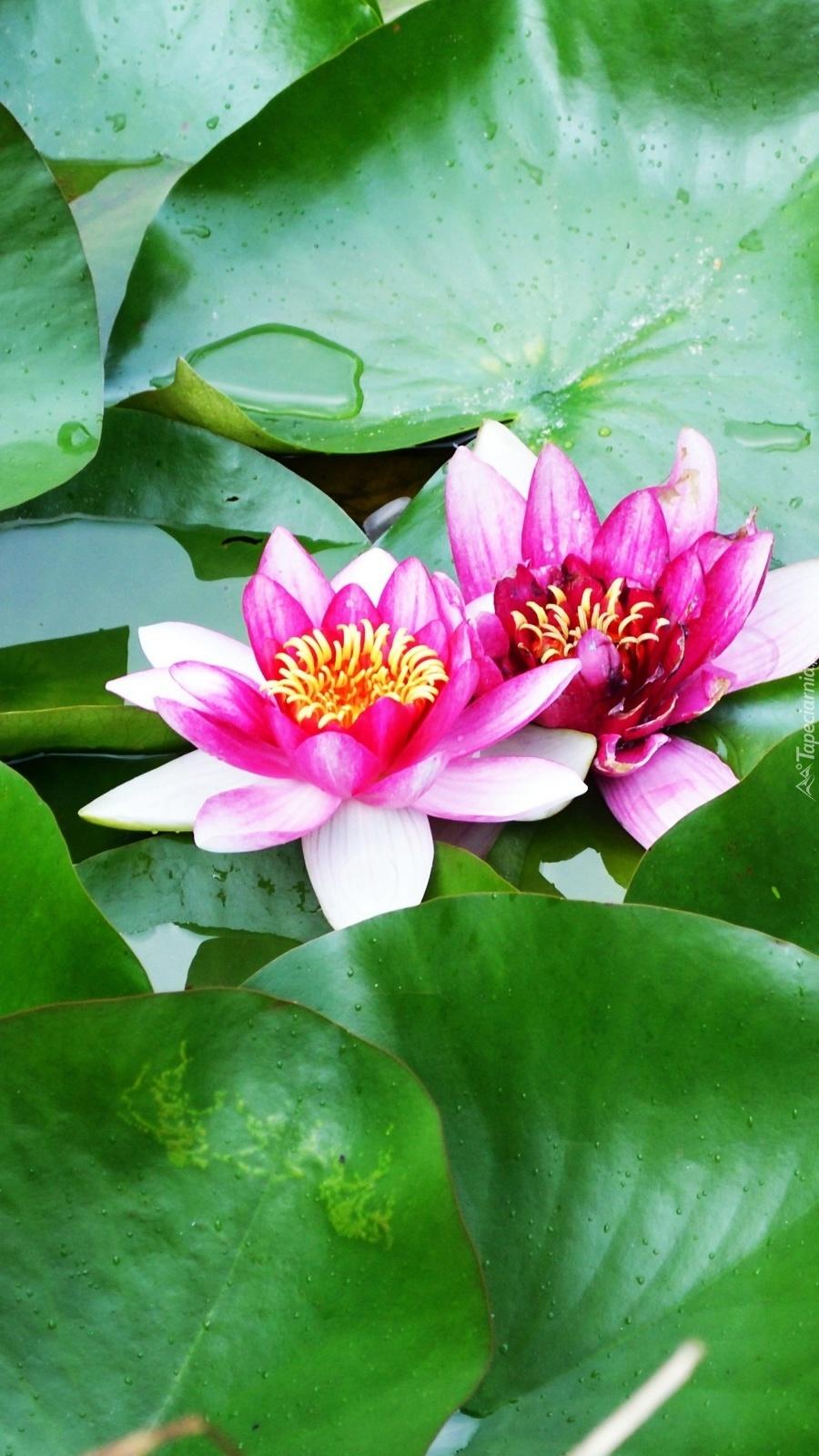 Dwie kwitnące lilie wodne