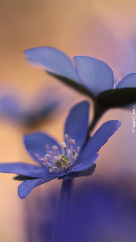 Dwie niebieskie przylaszczki