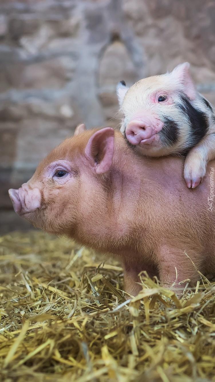 Dwie przytulające się świnki