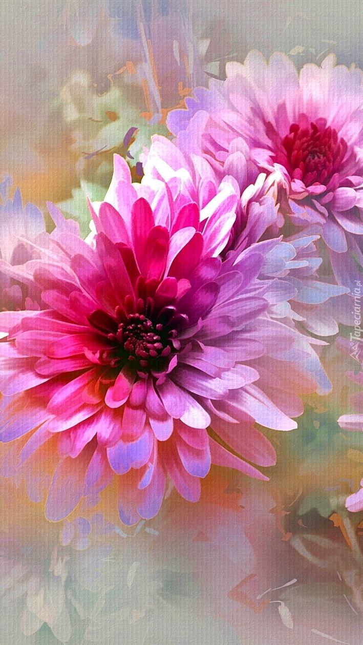 Dwie różowe chryzantemy