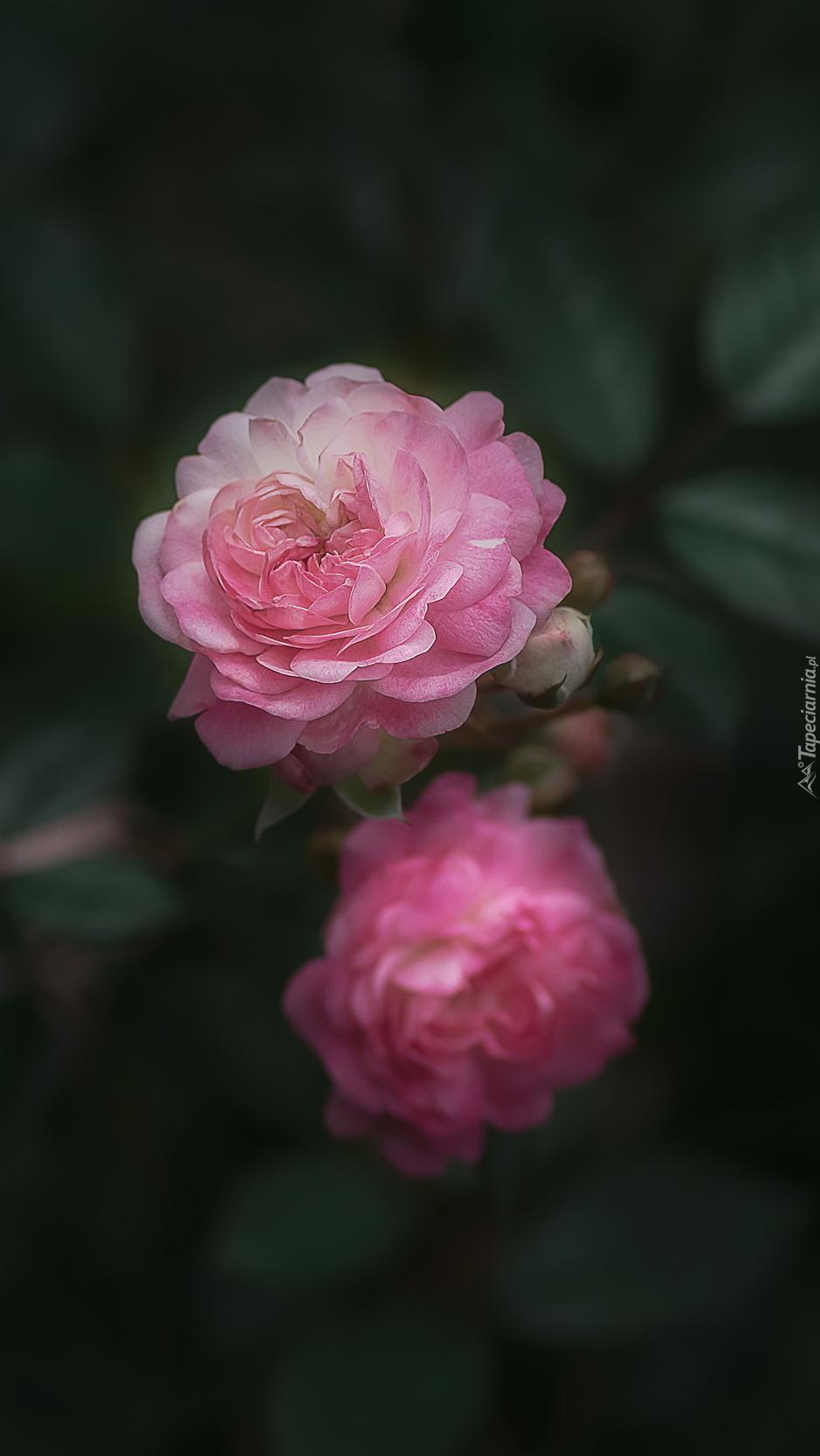 Dwie różowe róże