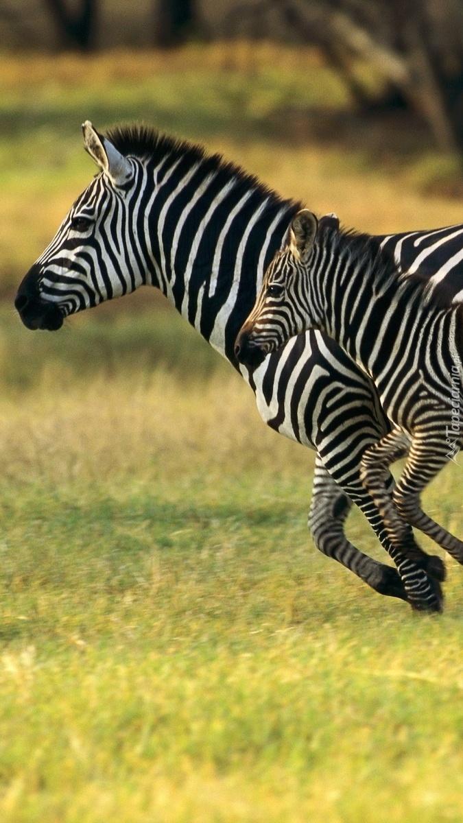Dwie zebry w biegu