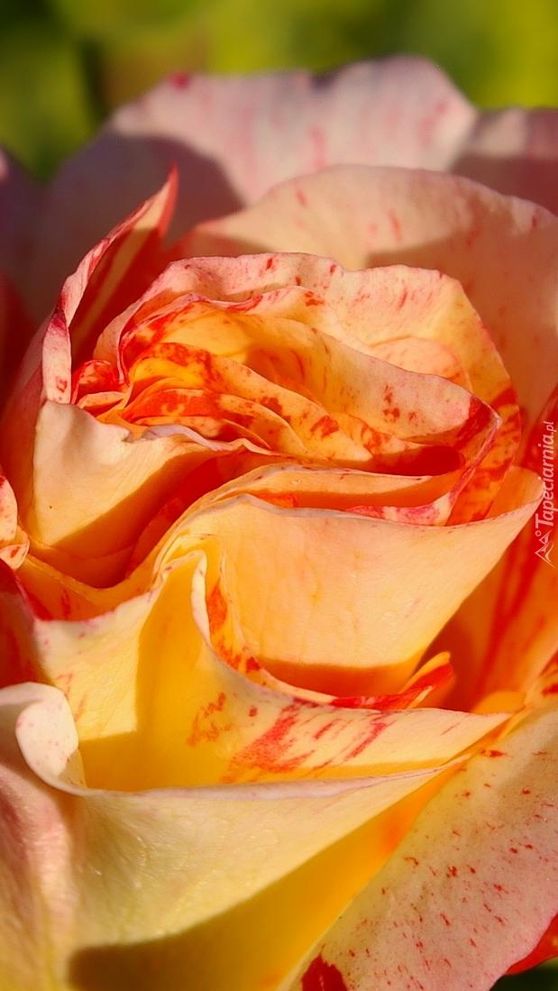 Dwukolorowa rozwinięta róża
