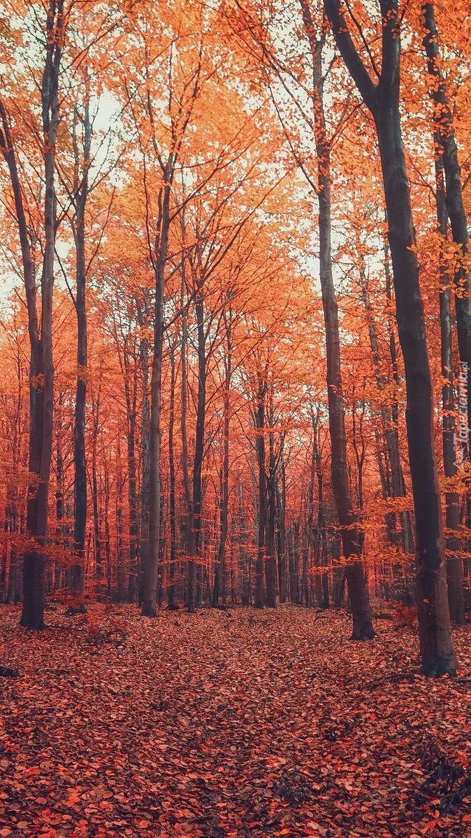 Dywan z czerwonych liści w lesie