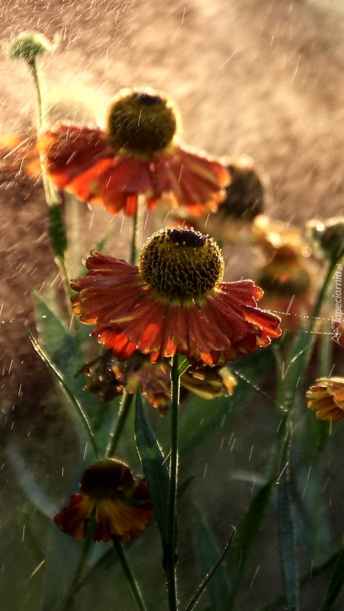 Dzielżan w kroplach deszczu