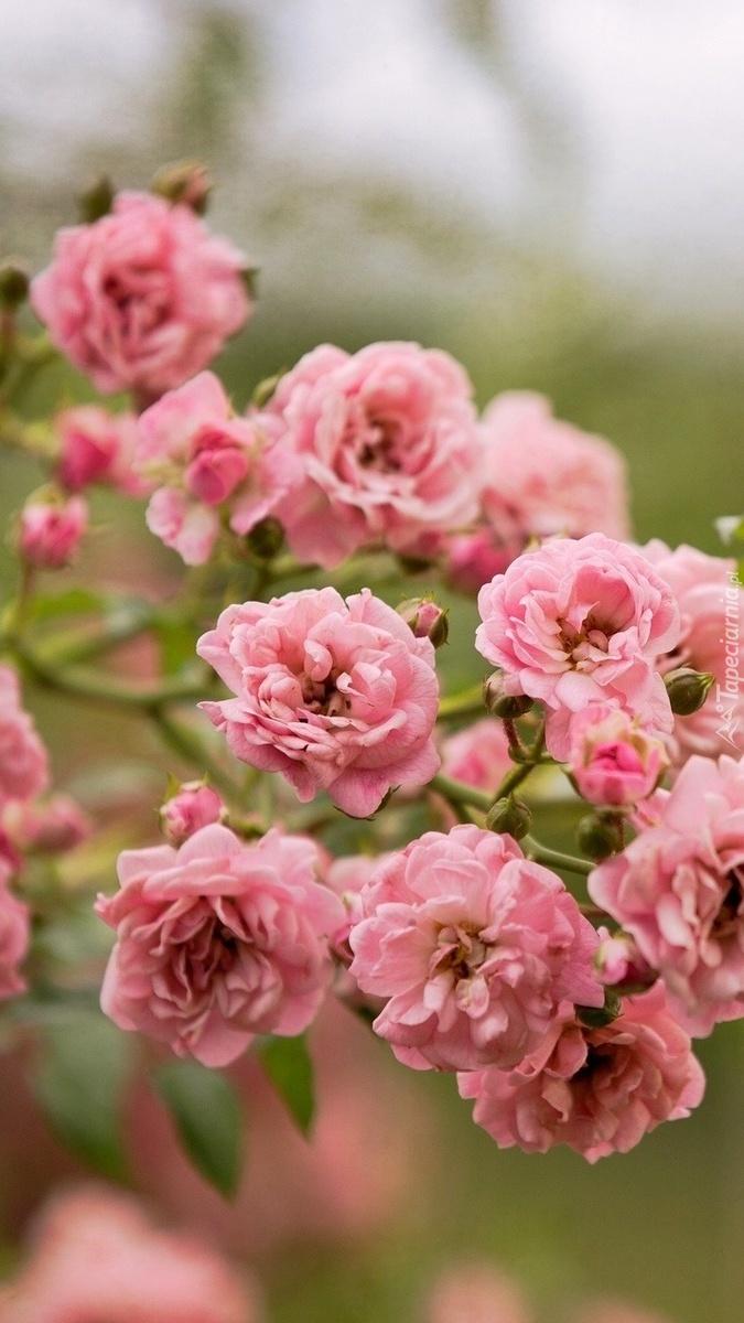 Dzika róża na gałązce