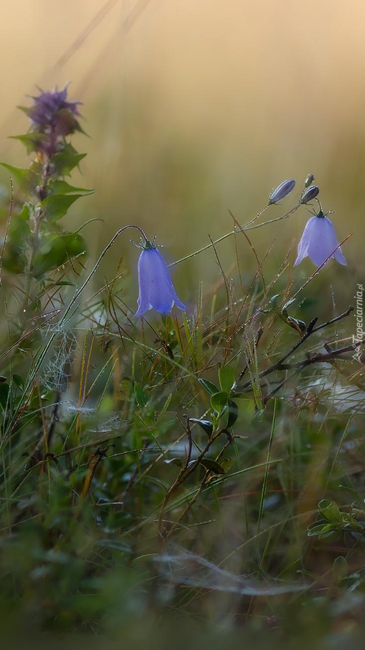 Dzwonki w trawie