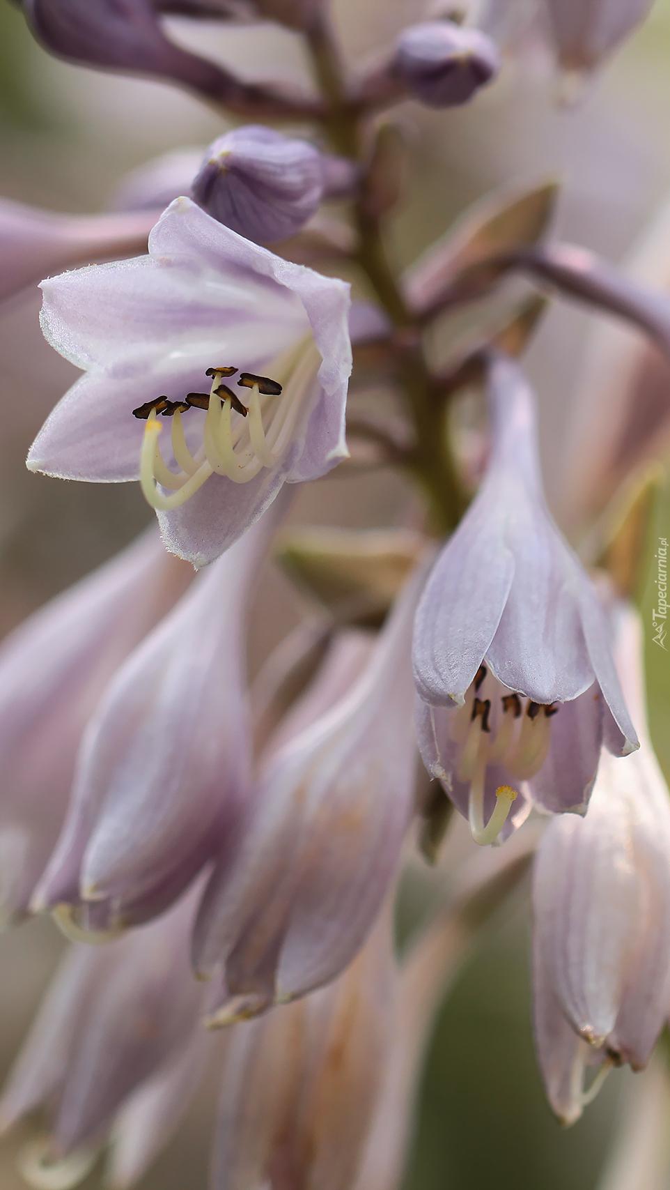 Dzwonkowate kwiaty funkii