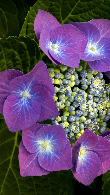 Fioletowa hortensja z pąkami