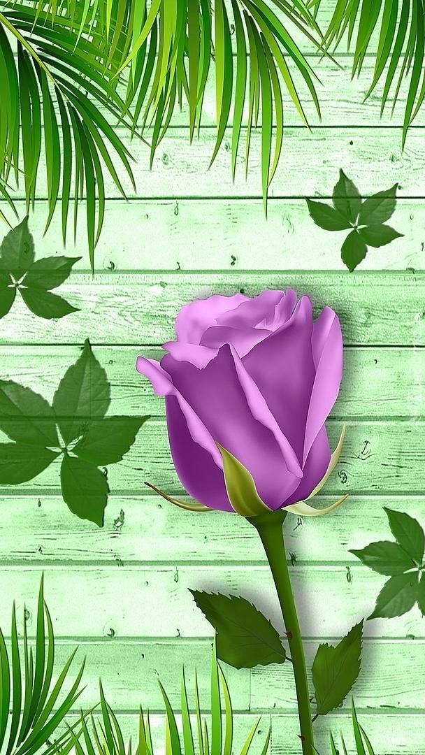 Fioletowa róża wśród zielonych liści