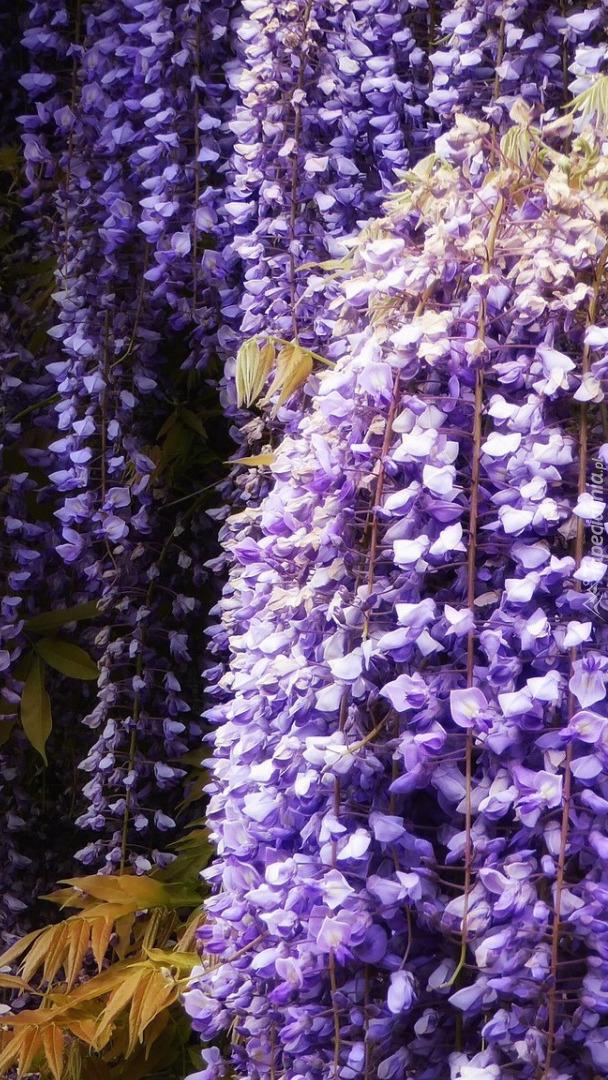 Fioletowa wisteria