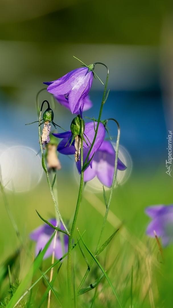 Fioletowe dzwonki w słońcu