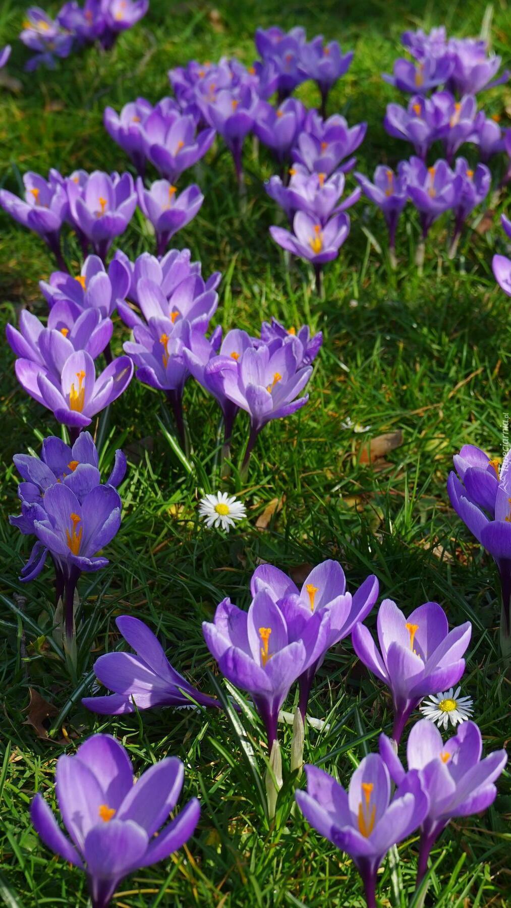Fioletowe krokusy w trawie