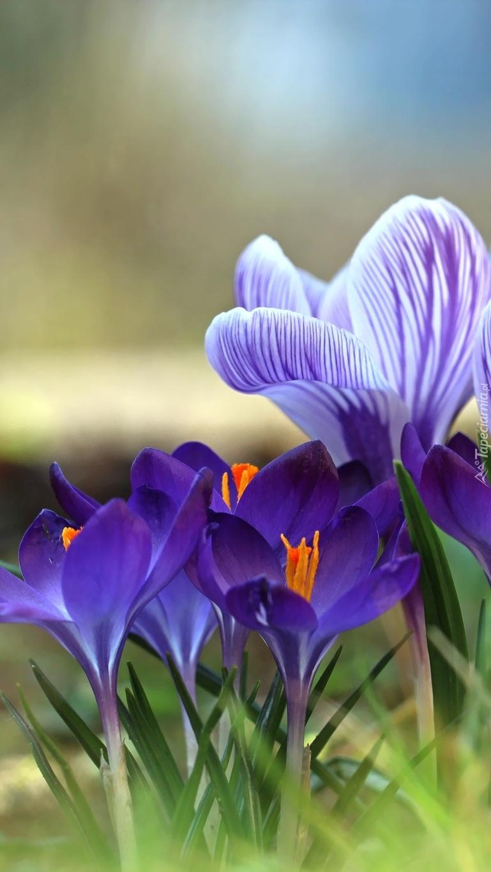 Fioletowe krokusy zwiastunem wiosny