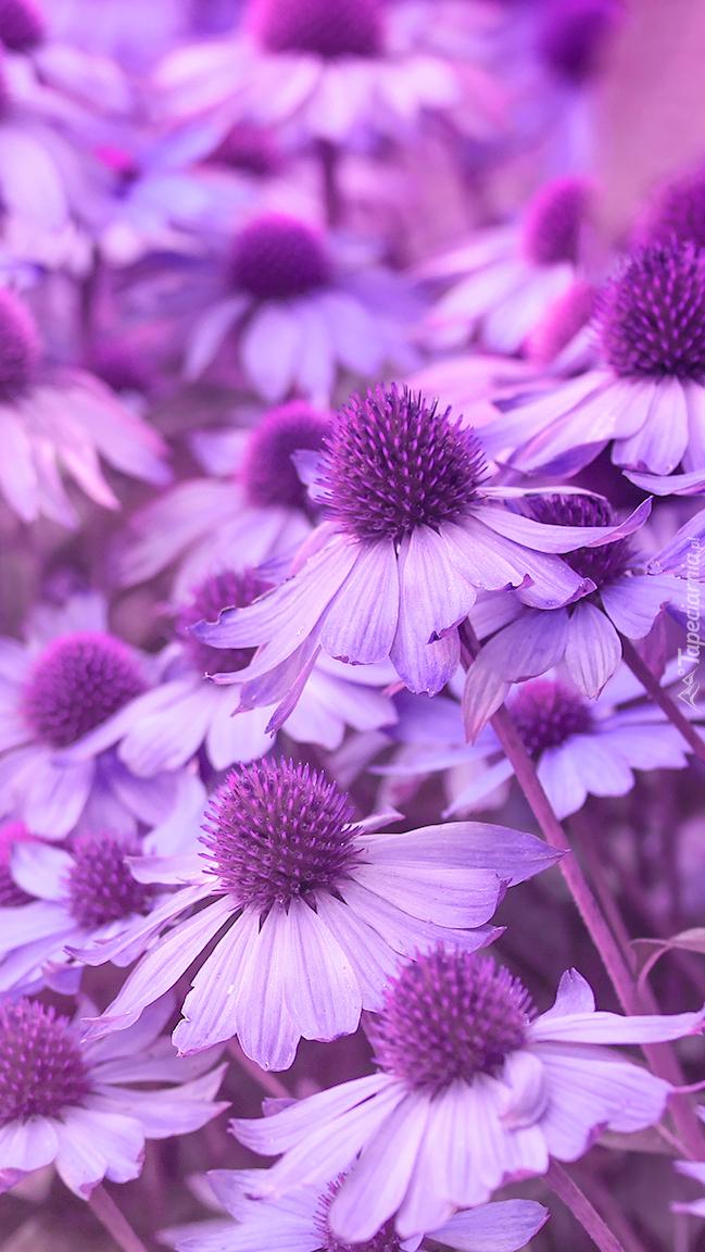 Fioletowe kwiaty jeżówki