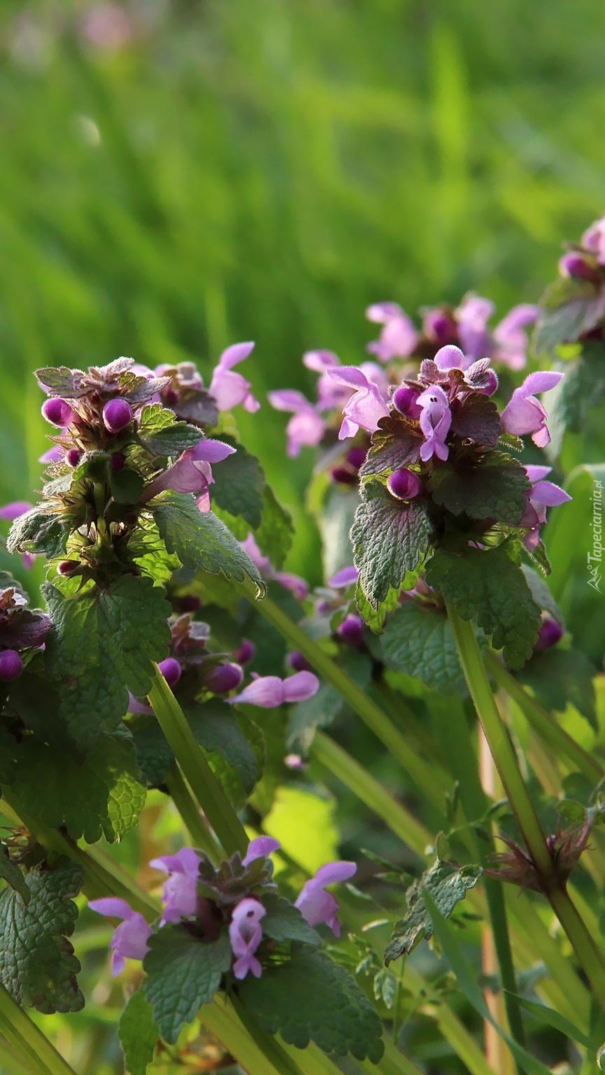 Fioletowe kwiaty pokrzywy