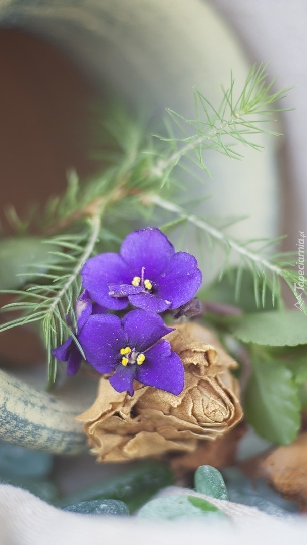 Fioletowe kwiaty sępolii i uschnięta róża