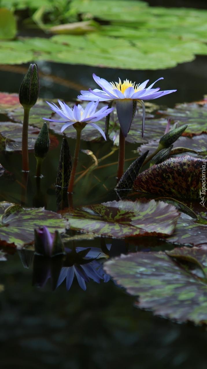 Fioletowe lilie wodne