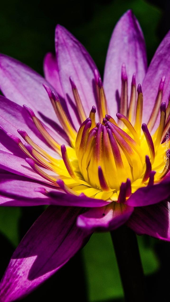 Fioletowo-żółta lilia wodna