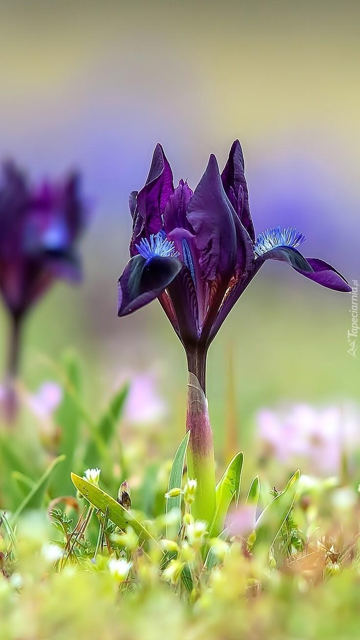 Fioletowy irys między roślinkami