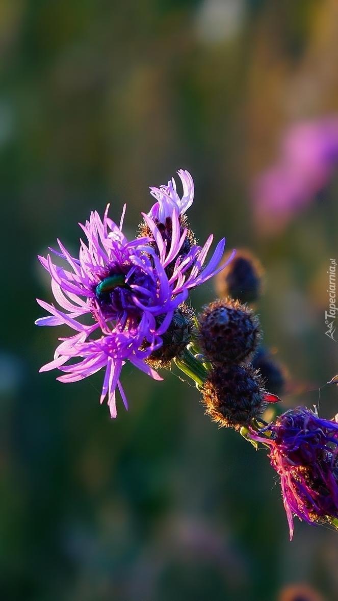 Fioletowy kwiat ostu