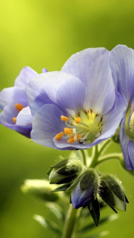 Fioletowy kwiatek w makro