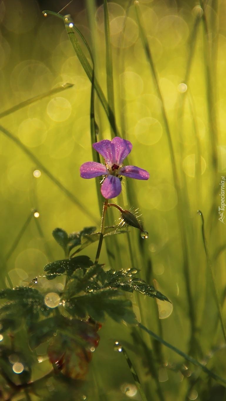 Fioletowy kwiatek w trawie
