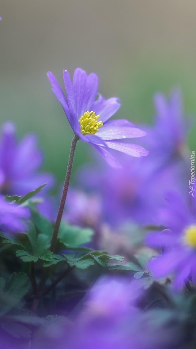 Fioletowy kwiatek z żółtymi pręcikami