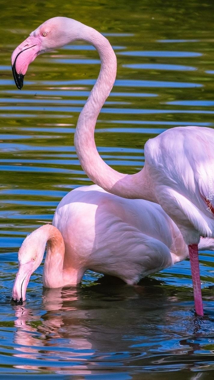 Flamingi w swoim żywiole