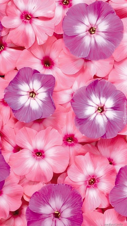 Floksy różowe i fioletowe