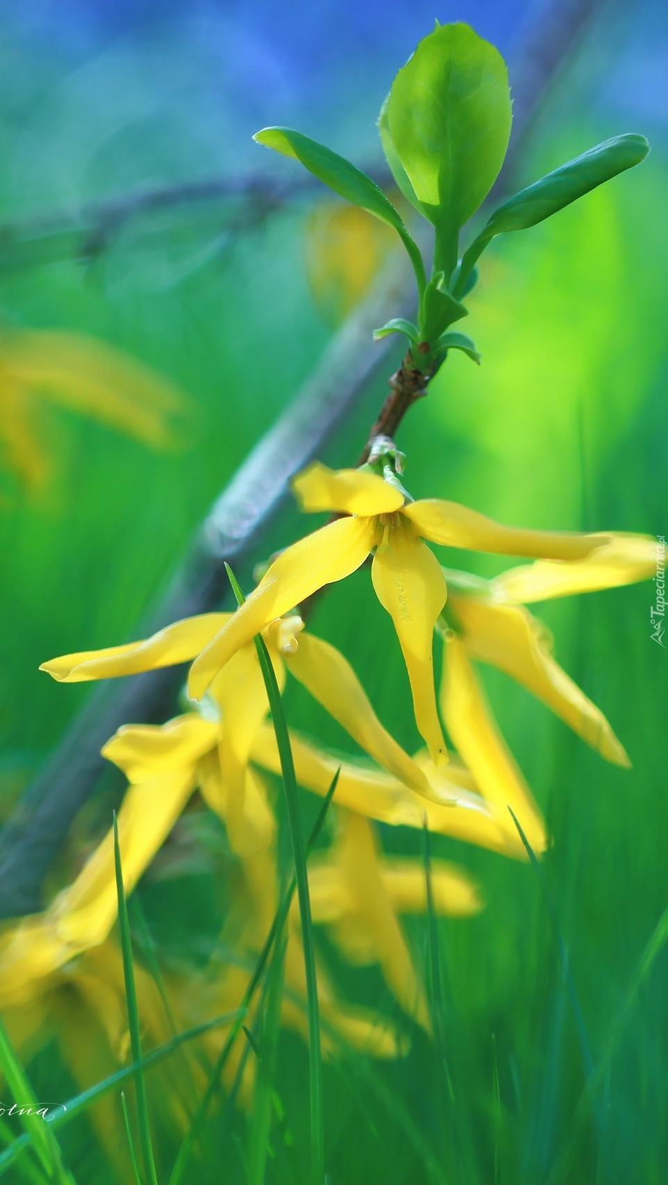 Forsycja żółta w rozkwicie